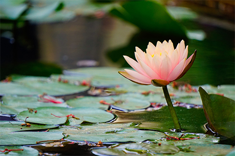 Image of a lotus flower above the surface of a pond